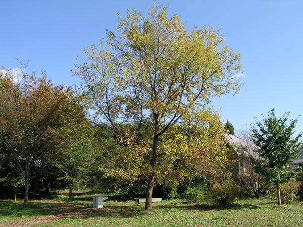 20081030草原のクヌギの木 上の写真は、2008年に撮影したクヌギの木です。 倒れてしまっ