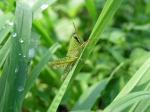 イナゴの写真